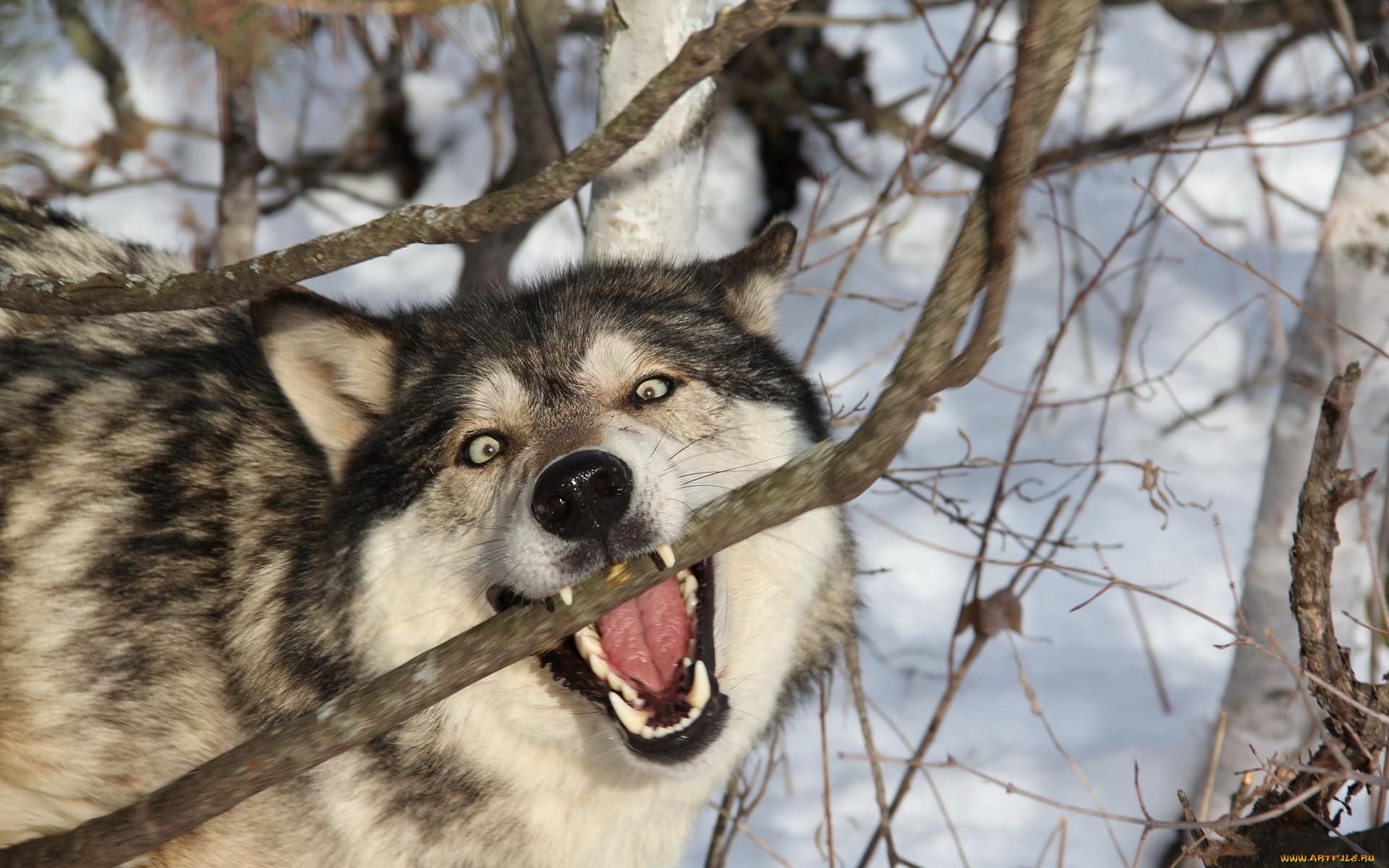 картинки животных смешные волки питбуля следует знать